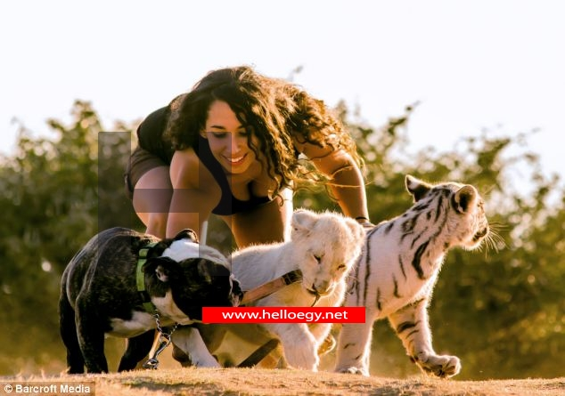 Brave English bulldog Hugo adopts a Bengal tiger, a white lion and ALL their tiger cubs in experiment by South Africa vet
